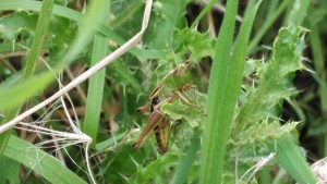 An unidentified grasshopper – note the short antennae, as cricket antennae are noticeably longer
