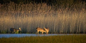 great_fen_wildlife